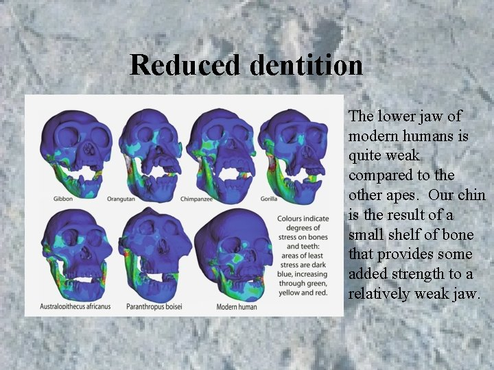 Reduced dentition The lower jaw of modern humans is quite weak compared to the