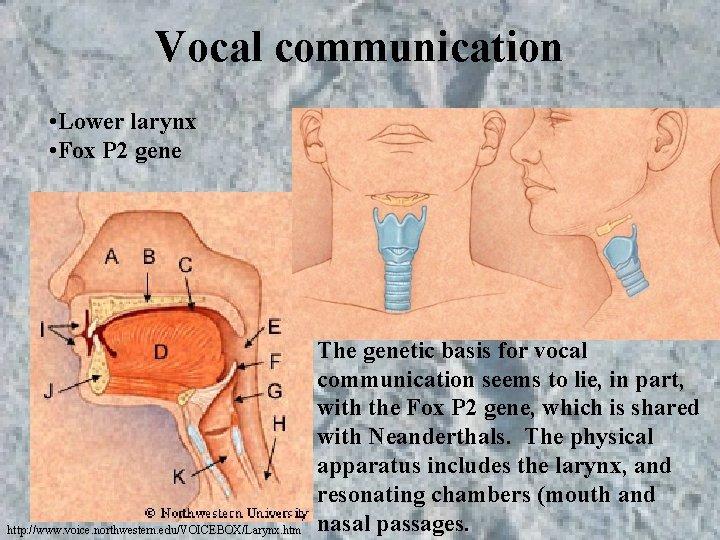 Vocal communication • Lower larynx • Fox P 2 gene http: //www. voice. northwestern.