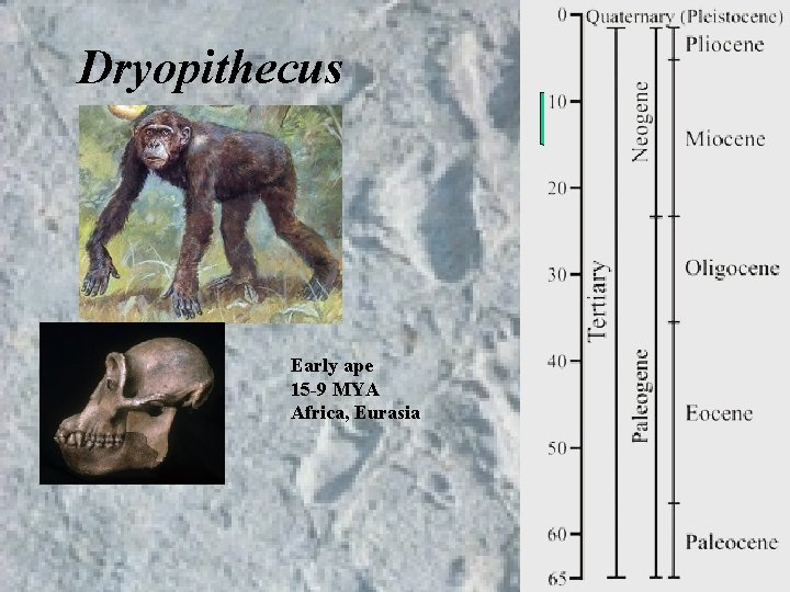 Dryopithecus Early ape 15 -9 MYA Africa, Eurasia