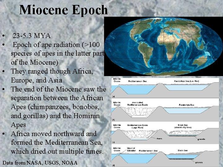 Miocene Epoch • • 23 -5. 3 MYA Epoch of ape radiation (>100 species