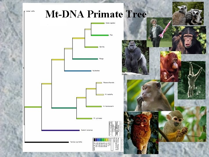 Mt-DNA Primate Tree