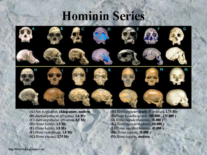 Hominin Series (A) Pan troglodytes, chimpanzee, modern (B) Australopithecus africanus, 2. 6 My (C)