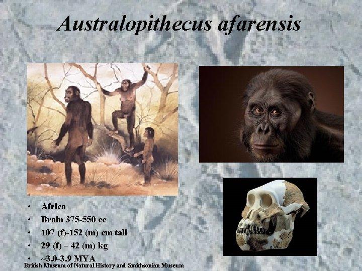 Australopithecus afarensis • • • Africa Brain 375 -550 cc 107 (f)-152 (m) cm
