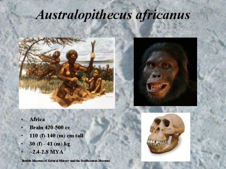 Australopithecus africanus • • • Africa Brain 420 -500 cc 110 (f)-140 (m) cm