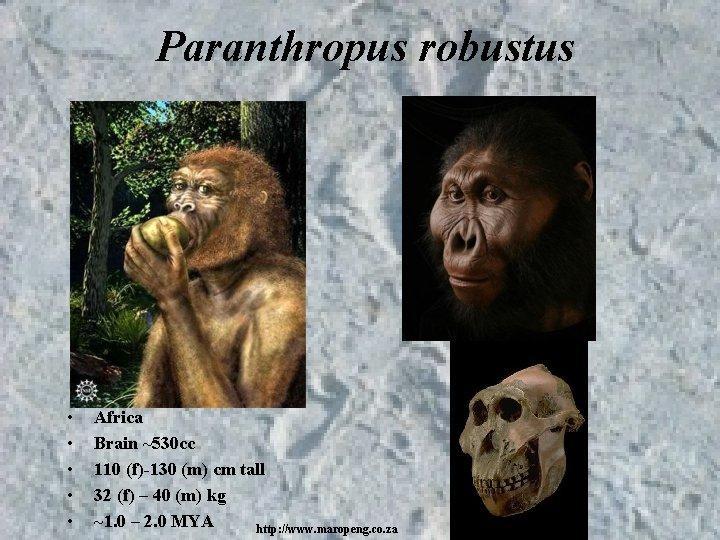 Paranthropus robustus • • • Africa Brain ~530 cc 110 (f)-130 (m) cm tall