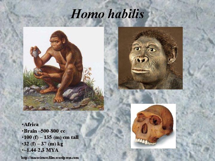 Homo habilis • Africa • Brain ~500 -800 cc • 100 (f) – 135
