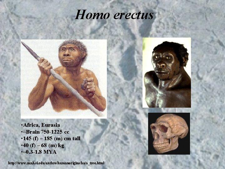 Homo erectus • Africa, Eurasia • ~Brain 750 -1225 cc • 145 (f) –