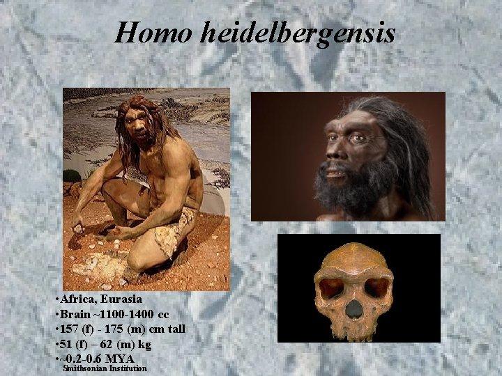 Homo heidelbergensis • Africa, Eurasia • Brain ~1100 -1400 cc • 157 (f) -