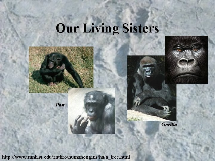 Our Living Sisters Pan Gorilla http: //www. mnh. si. edu/anthro/humanorigins/ha/a_tree. html