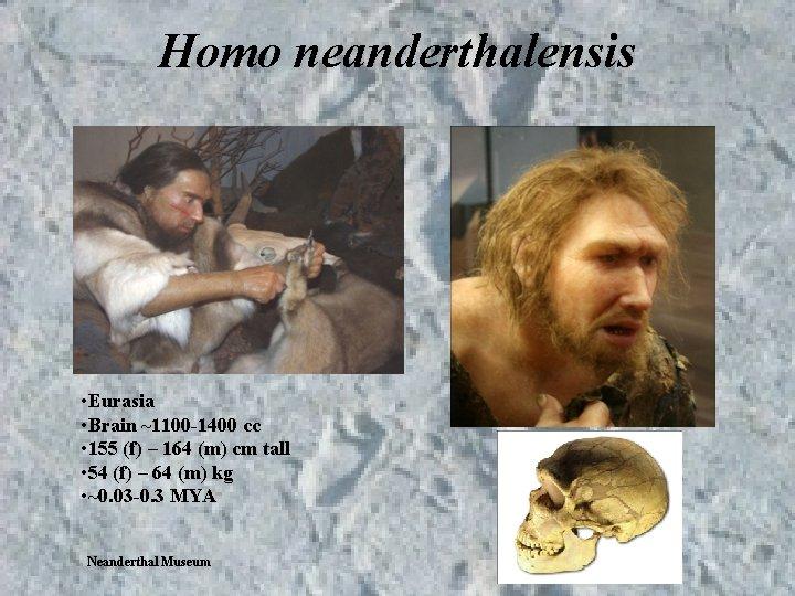 Homo neanderthalensis • Eurasia • Brain ~1100 -1400 cc • 155 (f) – 164