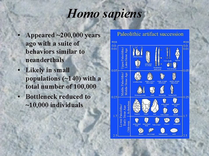 Homo sapiens • Appeared ~200, 000 years ago with a suite of behaviors similar