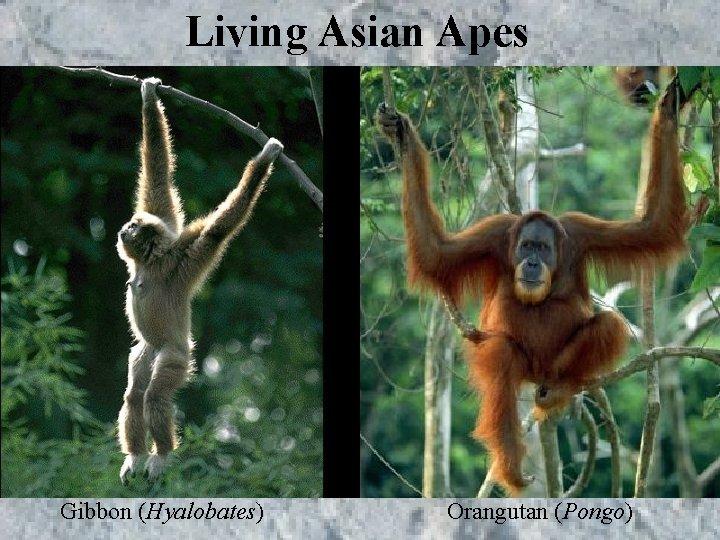 Living Asian Apes Gibbon (Hyalobates) Orangutan (Pongo)
