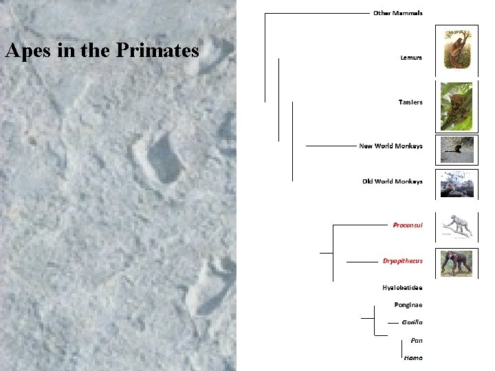 Apes in the Primates