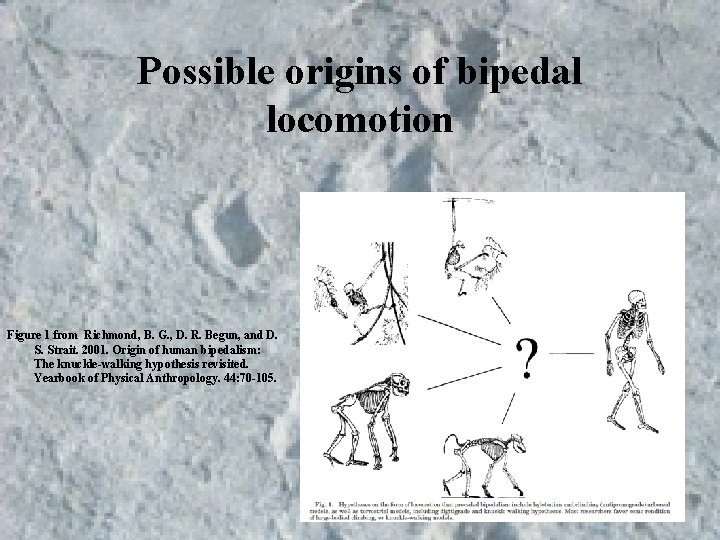 Possible origins of bipedal locomotion Figure 1 from Richmond, B. G. , D. R.