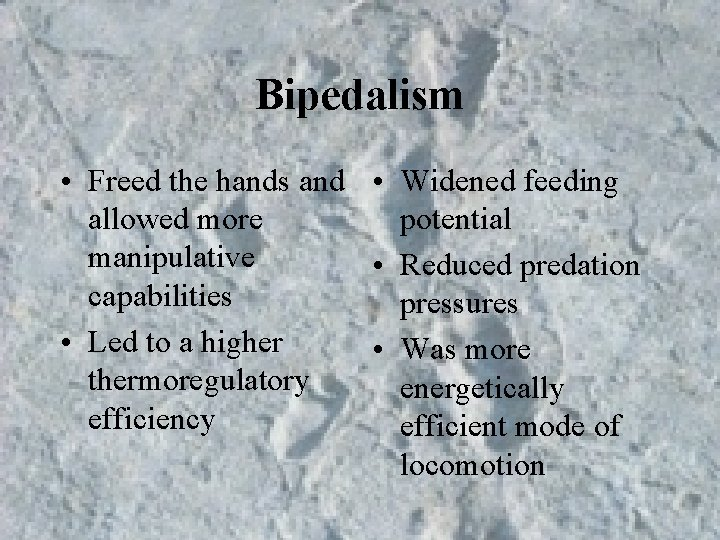 Bipedalism • Freed the hands and • Widened feeding allowed more potential manipulative •