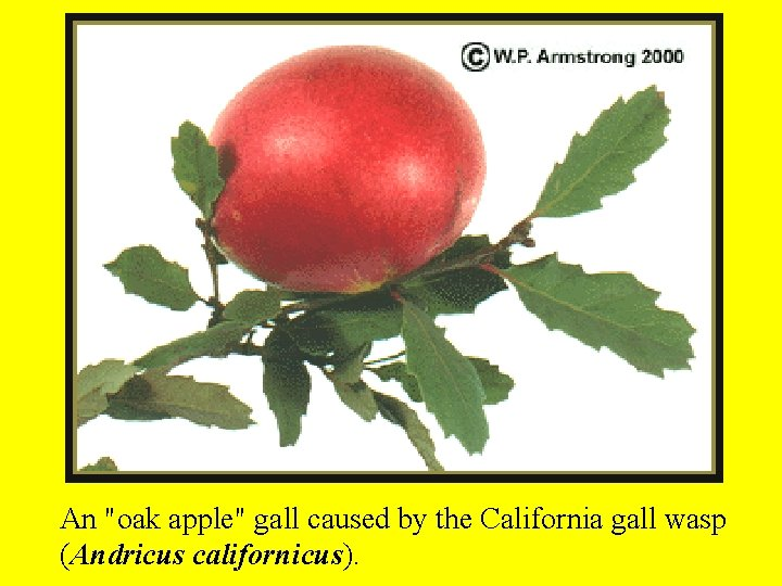 """An """"oak apple"""" gall caused by the California gall wasp (Andricus californicus)."""
