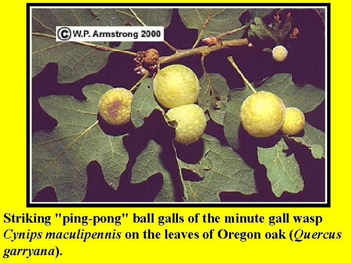 """Striking """"ping-pong"""" ball galls of the minute gall wasp Cynips maculipennis on the leaves"""