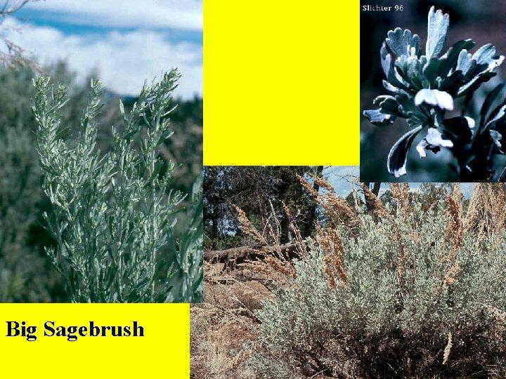 Big Sagebrush