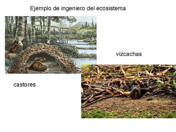 Ejemplo de ingeniero del ecosistema vizcachas castores