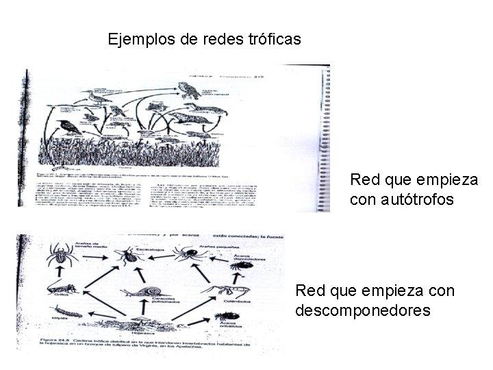 Ejemplos de redes tróficas Red que empieza con autótrofos Red que empieza con descomponedores