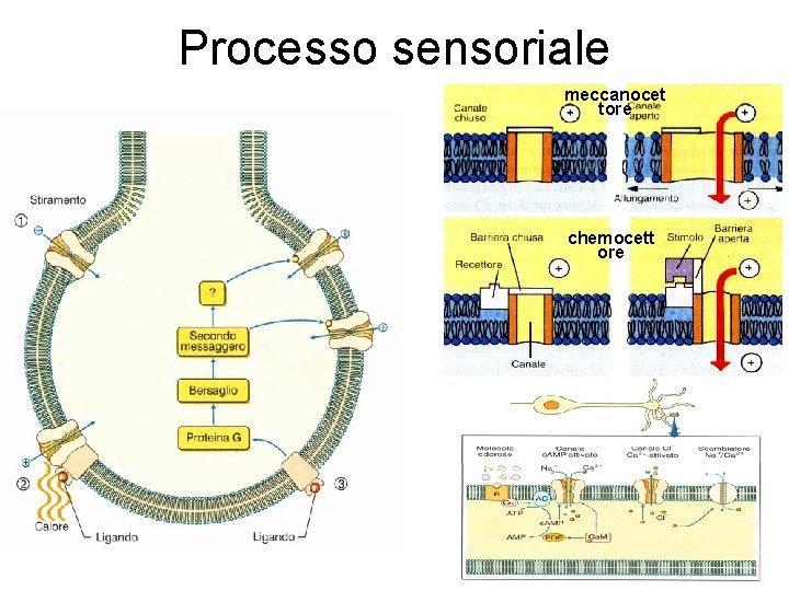 Processo sensoriale meccanocet tore chemocett ore