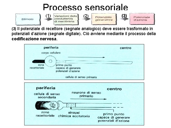 Processo sensoriale (1) (2) (3) Il potenziale di recettore (segnale analogico) deve essere trasformato
