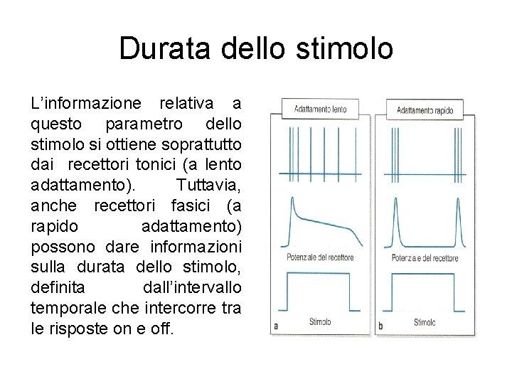 Durata dello stimolo L'informazione relativa a questo parametro dello stimolo si ottiene soprattutto dai