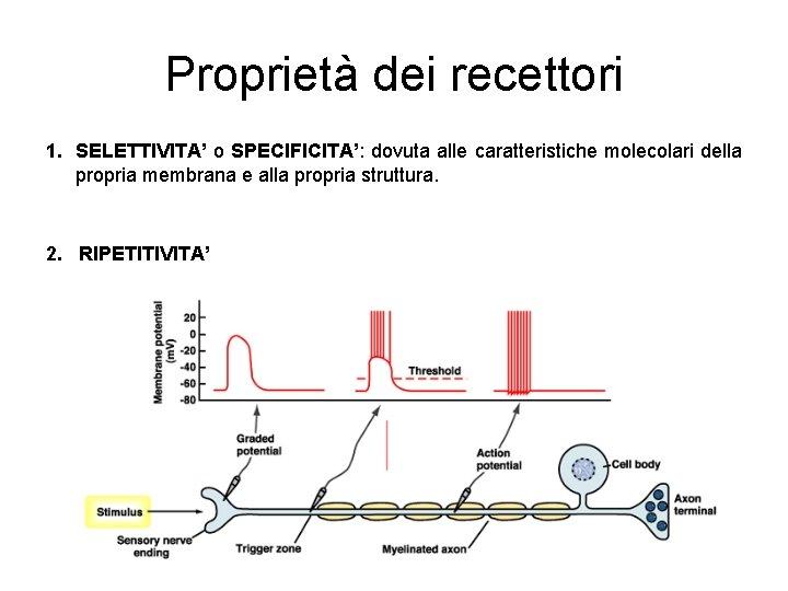 Proprietà dei recettori 1. SELETTIVITA' o SPECIFICITA': dovuta alle caratteristiche molecolari della propria membrana