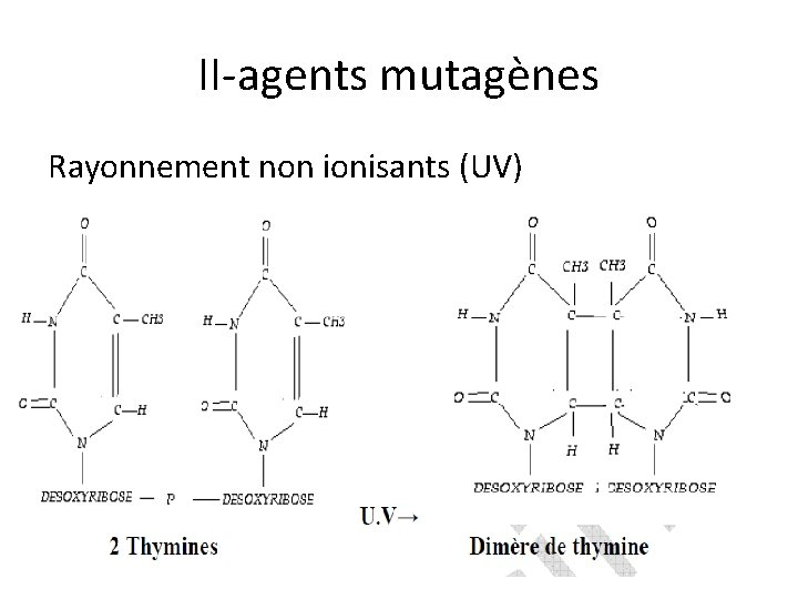 II-agents mutagènes Rayonnement non ionisants (UV)