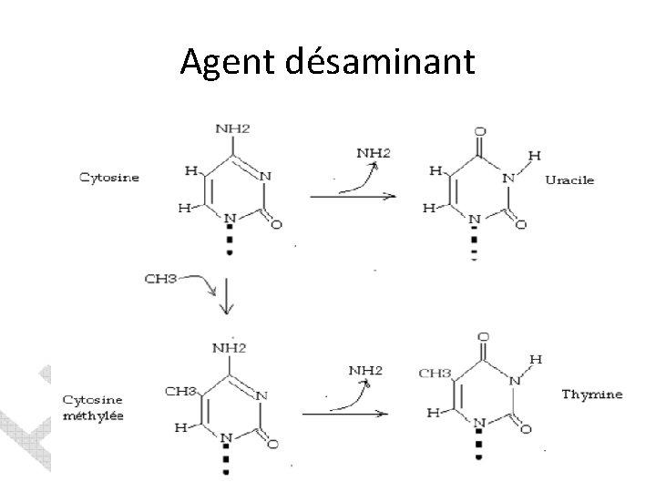 Agent désaminant
