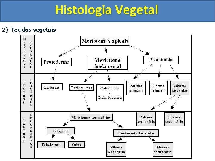 Histologia Vegetal 2) Tecidos vegetais