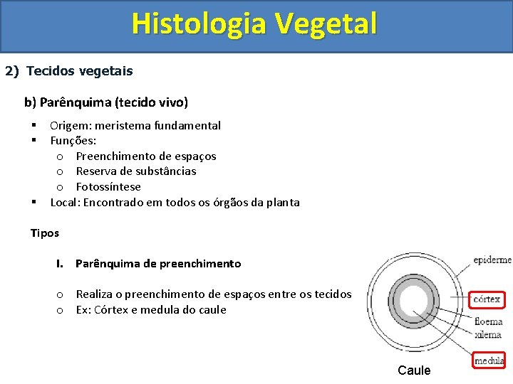 Histologia Vegetal 2) Tecidos vegetais b) Parênquima (tecido vivo) § § § Origem: meristema