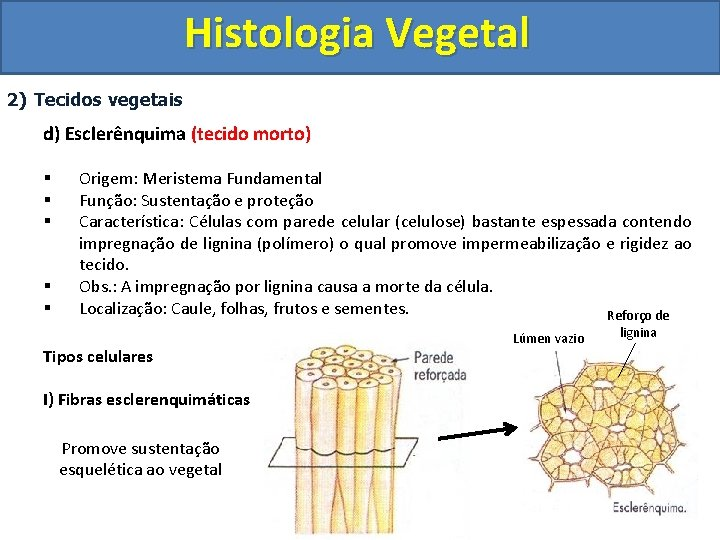 Histologia Vegetal 2) Tecidos vegetais d) Esclerênquima (tecido morto) § § § Origem: Meristema