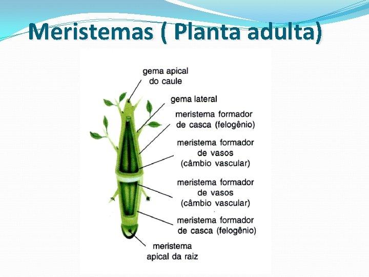 Meristemas ( Planta adulta)