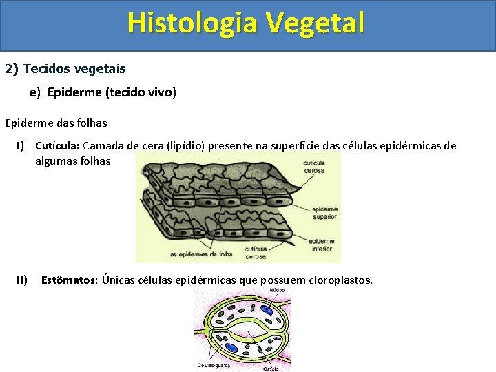 Histologia Vegetal 2) Tecidos vegetais e) Epiderme (tecido vivo) Epiderme das folhas I) Cutícula: