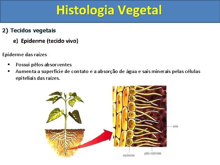 Histologia Vegetal 2) Tecidos vegetais e) Epiderme (tecido vivo) Epiderme das raízes § §