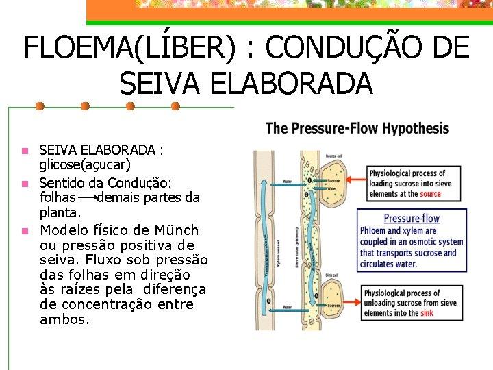 FLOEMA(LÍBER) : CONDUÇÃO DE SEIVA ELABORADA n n n SEIVA ELABORADA : glicose(açucar) Sentido
