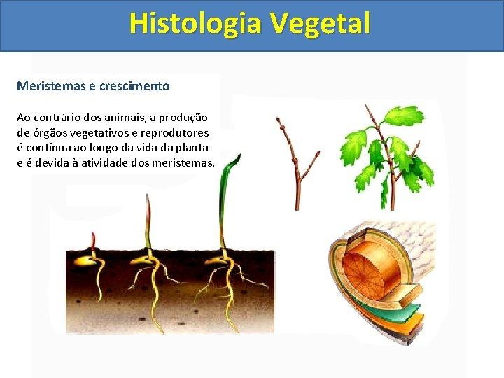 Histologia Vegetal Meristemas e crescimento Ao contrário dos animais, a produção de órgãos vegetativos