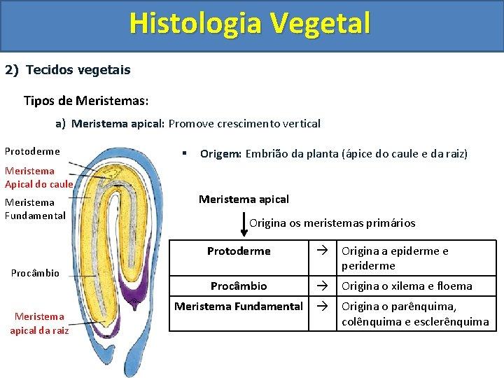 Histologia Vegetal 2) Tecidos vegetais Tipos de Meristemas: a) Meristema apical: Promove crescimento vertical