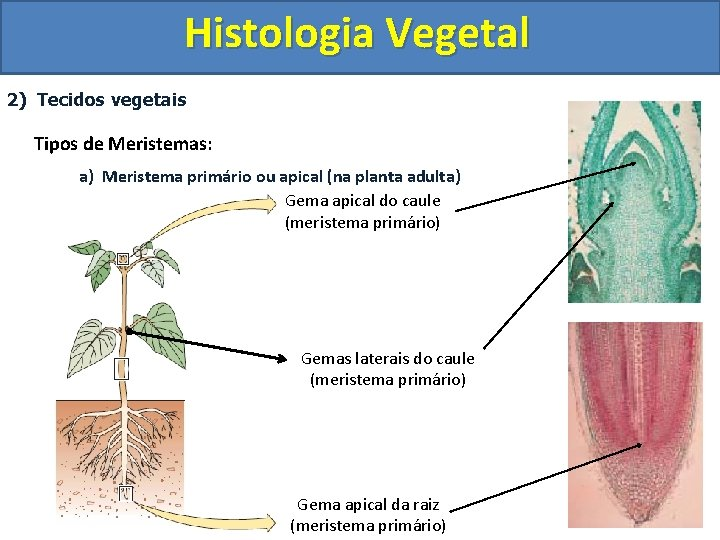 Histologia Vegetal 2) Tecidos vegetais Tipos de Meristemas: a) Meristema primário ou apical (na