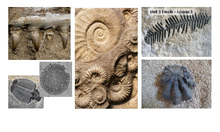 Unit 3 Fossils – Lesson 1 – 33 days All of these fossils were