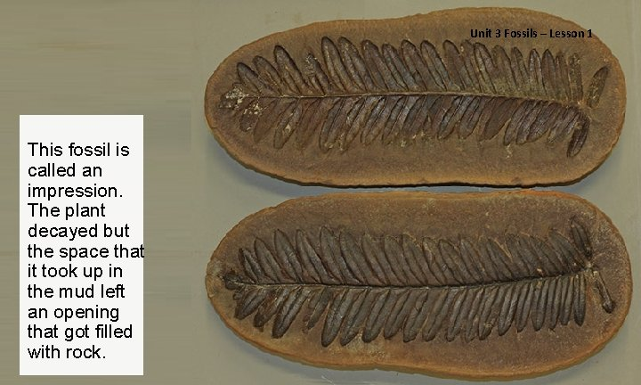 Unit 3 Fossils – Lesson 1 This fossil is called an impression. The plant