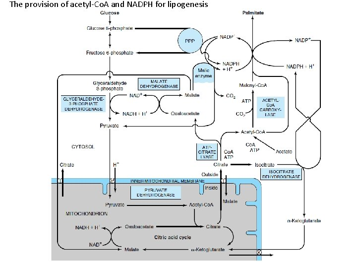 The provision of acetyl-Co. A and NADPH for lipogenesis