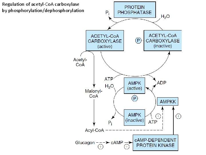 Regulation of acetyl-Co. A carboxylase by phosphorylation/dephosphorylation