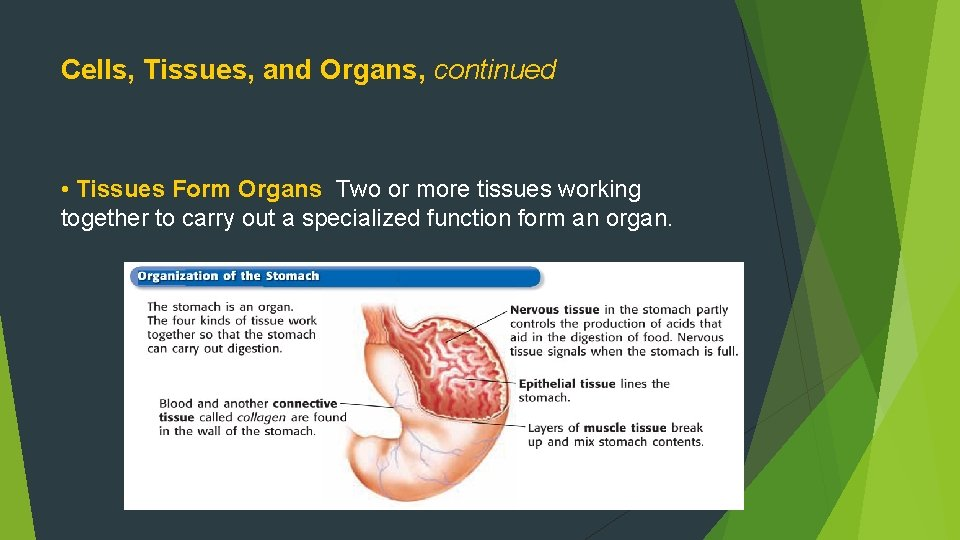Cells, Tissues, and Organs, continued • Tissues Form Organs Two or more tissues working