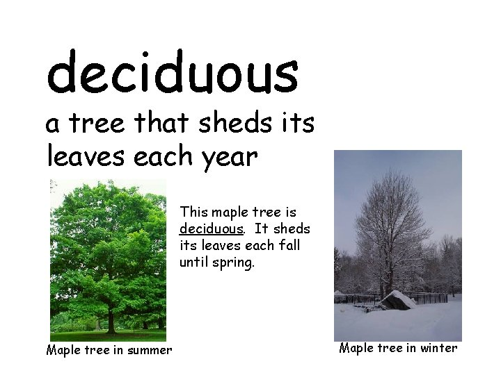 deciduous a tree that sheds its leaves each year This maple tree is deciduous.