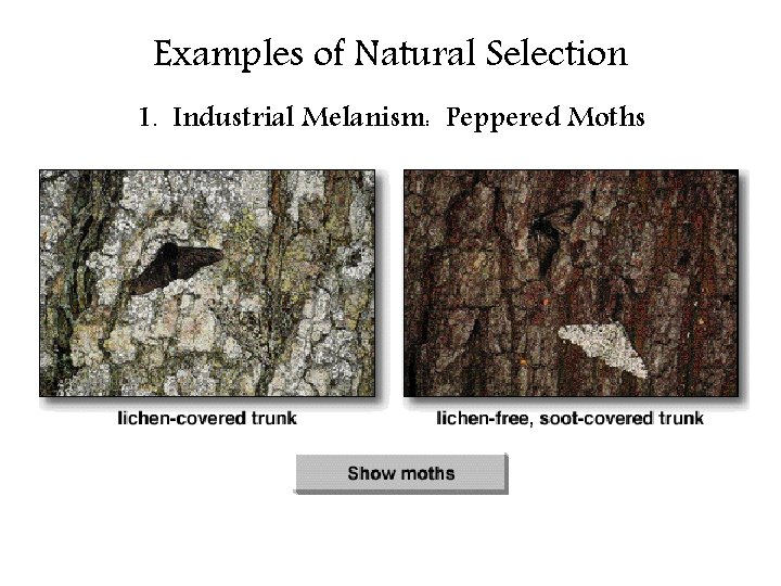 Examples of Natural Selection 1. Industrial Melanism: Peppered Moths