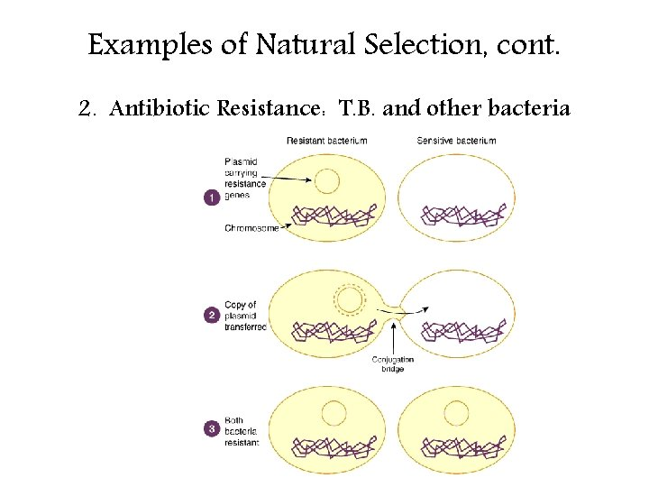 Examples of Natural Selection, cont. 2. Antibiotic Resistance: T. B. and other bacteria