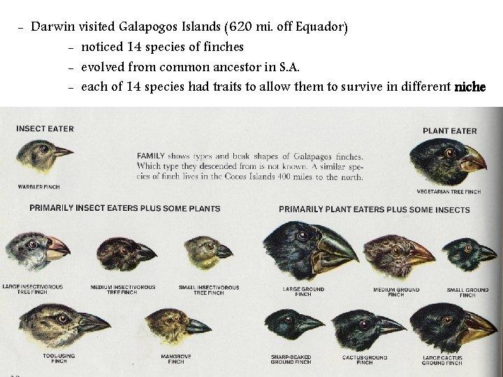 - Darwin visited Galapogos Islands (620 mi. off Equador) - noticed 14 species of