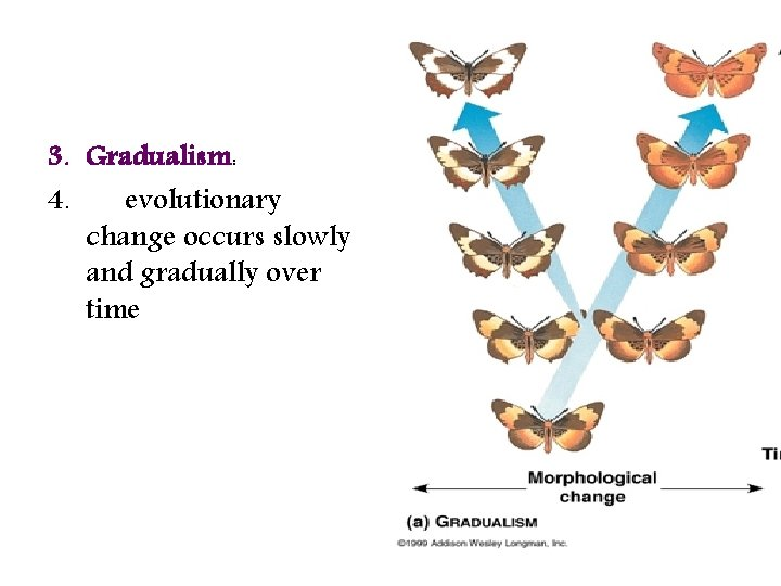 3. Gradualism: 4. evolutionary change occurs slowly and gradually over time